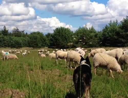 Wandelingen met de Herder en kudde als gids